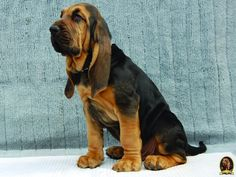 bloodhound dog | Puppies are 9 weeks old