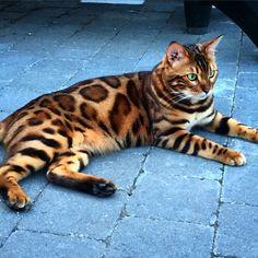 Thor n'est pas un chat comme les autres. Jetez un simple coup d'œil sur ses yeux verts et son magnifique pelage et vous comprendrez vite pourquoi. L'animal a beau être domestiqué et très calme, il rappelle ...