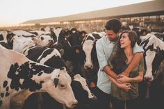 California Dairy Farm Engagement Photo Shoot. Dairy cows at your engagement. Central Valley California Wedding Photographer. Reverie Photo and Films
