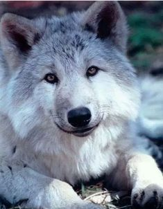 loup gris magnifique: can see where dogs come from. Wolf Spirit, My Spirit Animal, Wolf Pictures, Animal Pictures, Beautiful Creatures, Animals Beautiful, Tier Wolf, Animals And Pets, Cute Animals