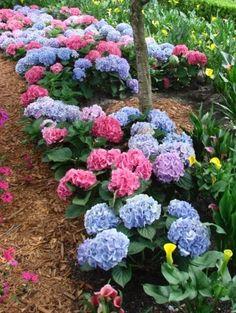 Blue and Pink Hydrangea - EPCOT 2007, Teresa Watkins