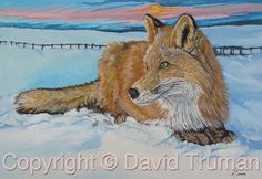 This painting depicts a red fox in snow, painted in watercolour and acrylic.    The original size is 11ins x 15ins.  This painting is for sale. Limited Edition Prints are available.    Visit http://www.davidtruman.co.uk/Wildl/image.741?_i=16