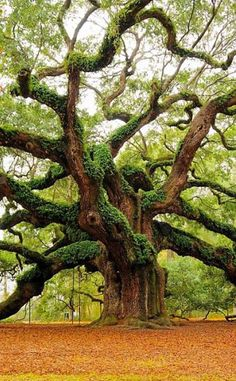 Angel Oak Park   Travel   Vacation Ideas   Road Trip   Places to Visit   Charleston   SC   Fall Foliage   Picnic Ground   Photo Op   Natural Feature   Historic Site   Offbeat Attraction   Children's Attraction