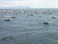 Dolphins just outside Gordons Bay - False Bay - Cape Town. #dolphins #GordonsBay #CapeTown #FalseBay
