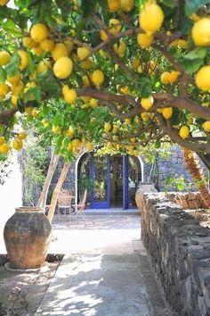 meyer lemon tree - Google Search