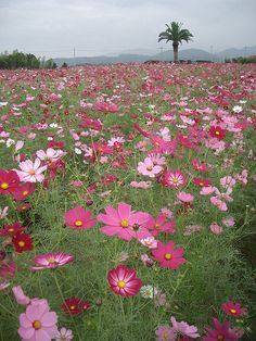field of cosmos in Africa!  Before I knew better, I thought Cosmos were poppies! :(