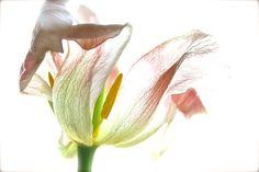 Pink tulip!