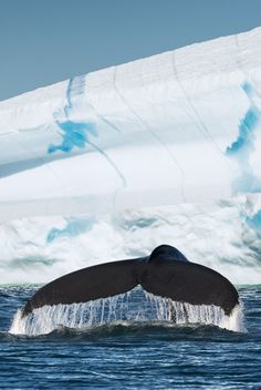 Humpback whale diving in front of iceberg -Greenland