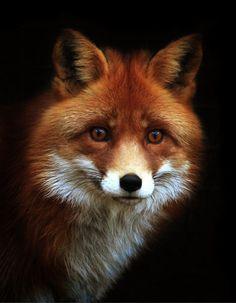 New Ideas Animal Art Photography Red Fox Nature Animals, Animals And Pets, Wild Animals, Strange Animals, Wildlife Photography, Animal Photography, Photography Settings, Portrait Photography, Friendly Fox