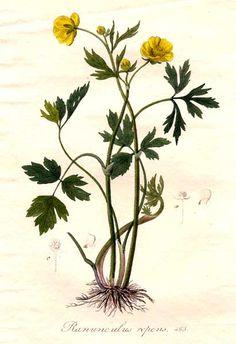 Ranunculaceae - Ranunculus repens. From: Flora batava by Jan Kops, Herman Christiaan van Hall and others.