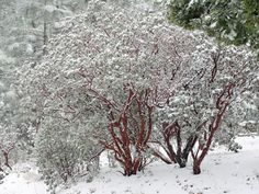 The Manzanita - California Native Plant Society. These manzanita trees or large shrubs covered in snow look much like like the ones we have in the San Bernardino Mountains.