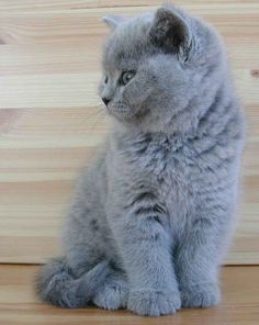 "British Shorthairs come in many colors and patterns.  For many years, the more popular blue variant was common enough to have a breed name of its own:  the ""British Blue."""