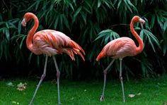 Картинки по запросу фламинго