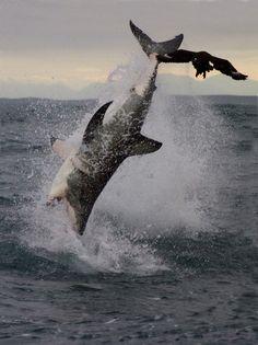 squalo bianco