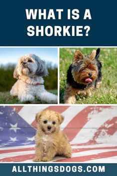 If you've come across this adorable fluffball, you're sure to be wondering what is a Shorkie? A cross between the Shih Tzu and Yorkie, read our breed guide to learn everything you need to know before you thonk of getting one home.  #shorkie #whatisashorkie #shihtzuyorkiemix Terrier Breeds, Dog Breeds, Shorkie Dogs, Rottweiler, Shih Tzu, Yorkie, Pup, Teddy Bear, Animals