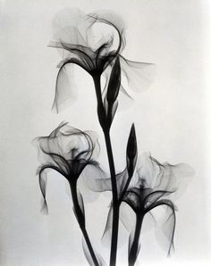 Dain L. Tasker, Fleur-de-lis, A Radiologist's X-Ray Photographs of Flowers from the Stunning intersection of arts and science. Xray Flower, Flower Art, Aquarell Tattoos, Desenho Tattoo, Arte Floral, Botanical Illustration, Flower Tattoos, Vintage Floral, Flower Power
