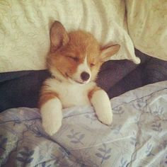 Sleeping corgi pup