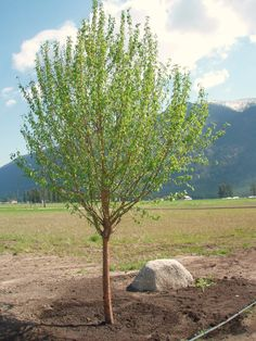 Pics For > Chokecherry Tree Beloved