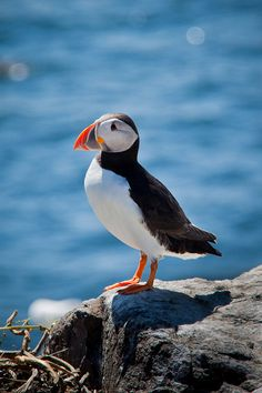 Puffin | Flickr - Photo Sharing!