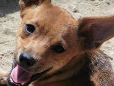 Meet Nermal, a Petfinder adoptable Corgi Dog | Auburn, WA | Nermal is an 8 month old male Corgi / Chihuahua mix, about 8 pounds.He is neutered, up to date on...