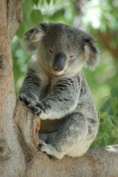Love Koala bears!