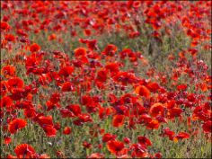 Poppies... poppies... poppies