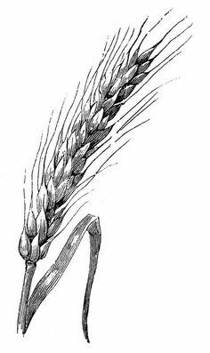 Wheat sketch