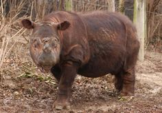Sumatran Rhino  https://www.pinterest.com/friedahoppen/animals-rhino-rhinoceros-neushoorn/?utm_campaign=recs_141117&utm_term=5&utm_content=372884112836526349&e_t=e8d5feabb1674219909c31ca074a97ca&utm_source=31&e_t_s=boards&utm_medium=2004