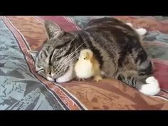 Chick Sleeps Peacefully Under Napping Cat's Chin (Video) Cute Funny Animals, Cute Baby Animals, Animals And Pets, Cute Cats, Funny Cats, Adorable Kittens, Cute Animal Videos, Cute Animal Pictures, Chien Golden Retriever