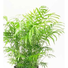 """Delray Plants Neanthebella Palm in 6"""" Pot"""