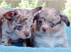 Chihuahua Breeders, Chihuahua Puppies For Sale, Chihuahuas, Blue Merle Chihuahua, Teacup Chihuahua, Chihuahua Information, Small Dogs, Arizona, Housekeeping