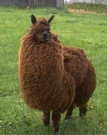 Image result for fat llama