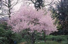 Oktoberkirsebær (Prunus subhirtella autumnalis)