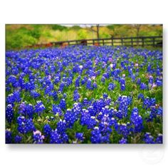 Field of Bluebonnets Postcard from http://www.zazzle.com/texas+postcards