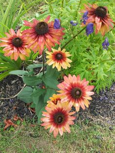 Rudbeckia Cherry Brandy.