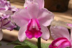 Cattleya intermedia - Flickr - Photo Sharing!