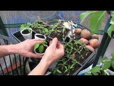Complete Video Series (9): Growing Tomatoes and Peppers from Start to  – The Rusted Garden