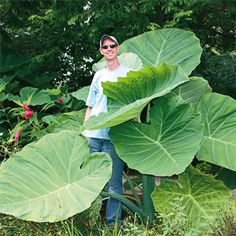 really want some of these elephant ears for the yard!