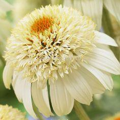 100% правда разнообразие 100 семена / мешок фамильные эхинацея 'Milkshake' хризантемы семян, Семян редких цветов для дома и сада купить на AliExpress