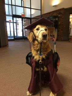 """""""My little sister with Cerebral Palsy is graduating. This is her service dog in his graduation get-up."""" :)"""