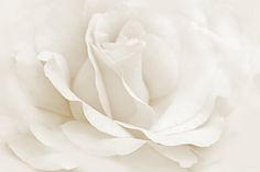 Beautiful close up of a white Ivory Rose photography art design by Jennie Marie Schell.  #rose#whiterose