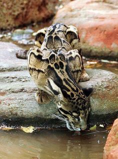 Clouded Leopard. Those markings almost look like skulls or a skeletal structure.