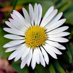 Bellis perennis is a common European species of daisy, of the Asteraceae family, often considered the archetypal species of that name. Edible Flowers, All Flowers, Summer Flowers, Beautiful Flowers, Daisy Flowers, Daisy Daisy, Popular Flowers, Flowers Garden, White Flowers