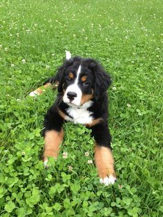Bernese Mountain Dog puppy. I've decided this is the dog I want.