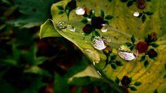 Floral Taro leaf