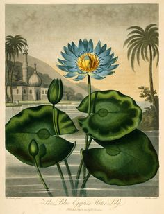 """Blue Egyptian Water Lily from """"New illustration of the sexual system of Carolus von Linnaeus :and the temple of Flora, or garden of nature."""""""