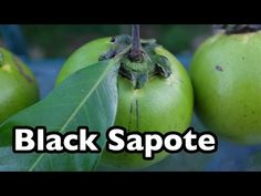 Black Sapote - The chocolate pudding tropical fruit - YouTube