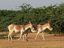 The Indian wild ass, as with most other Asian wild ass subspecies, is quite different from the African wild ass species. The coat is usually sandy, but varies from reddish grey, fawn, to pale chestnut. The animal possesses an erect, dark mane which runs from the back of the head and along the neck. The mane is then followed by a dark brown stripe running along the back, to the root of the tail.