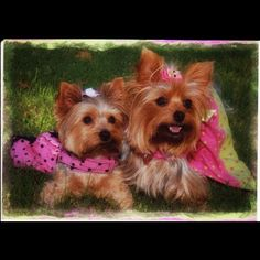 Molly & Bella Yorkies
