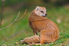 Yellow mongoose looking back by Tambako the Jaguar, via Flickr